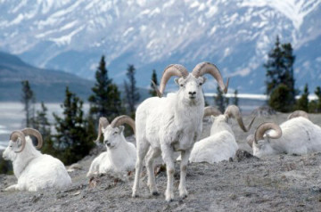 Dallschafe im Kluane Nationalpark in Yukon