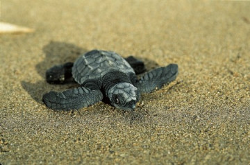 Sea Turtle Conservancy Tortuguero ©Latinconnect