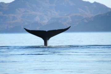 Blauwal vor Mexiko