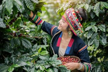 Thailand Reise: Bergdorf Kaffeeanbau