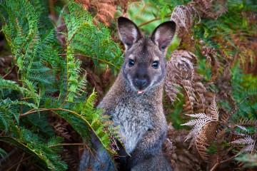Australien Reise Wallaby