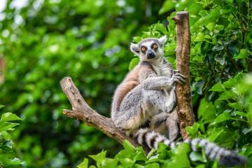 Lemur auf einem Ast