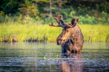 Kanadas Wildnis erleben und Elche sehen