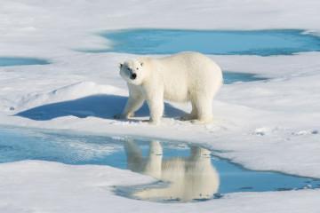 Kanada Expedition: Eisbär