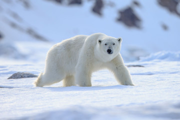Kanada Reise: Churchill Eisbär