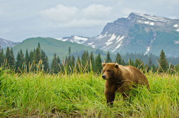 Kanada Reise: Grizzly Bär