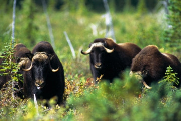 Muskox ©NWT Tourism, Terry Parker