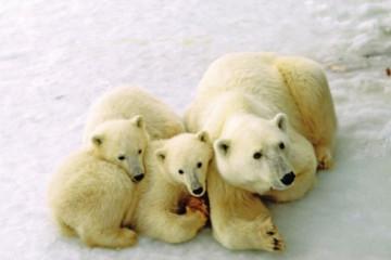 Eisbären Churchill, Manitoba, Kanada