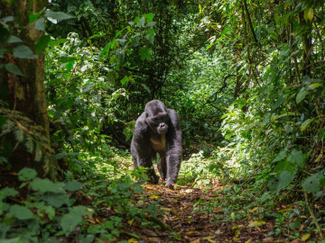 Uganda Gorilla Tracking