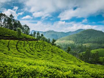 Indien Reise: Teeplantage