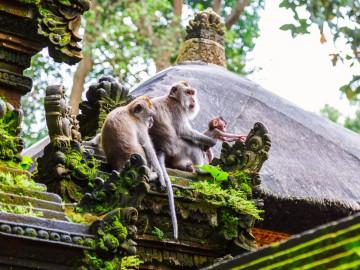 Indonesien Reise: Affen in Ubud - Bali