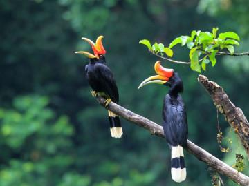 Indonesien Reise Sumatra: Nashornvogel