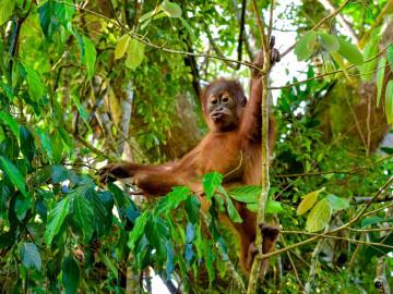 Indonesien Reise - Insel Sumatra: Orang-Utan