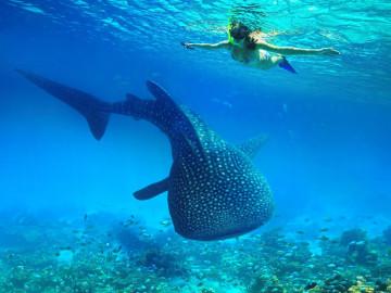 Philippinen Urlaub: Schnorcheln mit Walhai