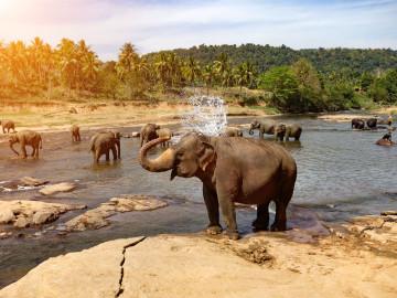 Reise Sri Lanka: Elefanten