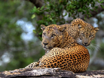 Sri Lanka Reise: Leoparden im Yala Nationalpark