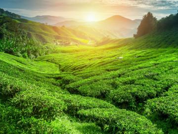 Sri Lanka Reise: Teeplantage
