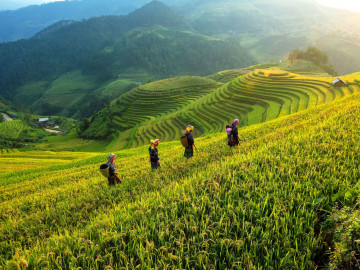 Vietnam Reise - Reisfeld