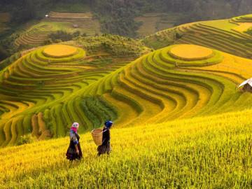Reise Vietnam - Reisfelder
