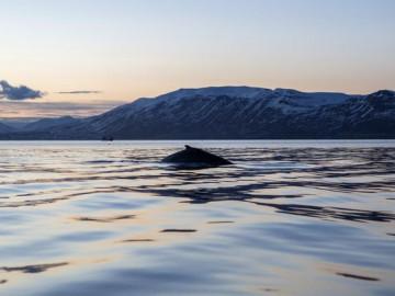 Iceland Akureyri Whale Ocean Sunset