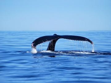 Kanada Rundreise: Wal