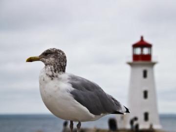 Kanada Reise: Möve und Leuchtturm in Peggys Cove