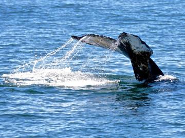 Kanada Reise: Walbeobachtung