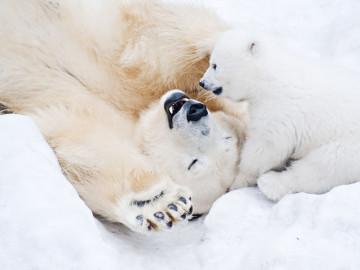 Kanada Arktis: Polarbären