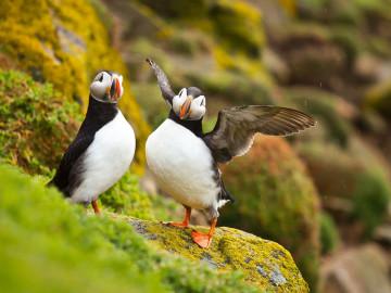 Reise Neufundland - Vögel Puffins