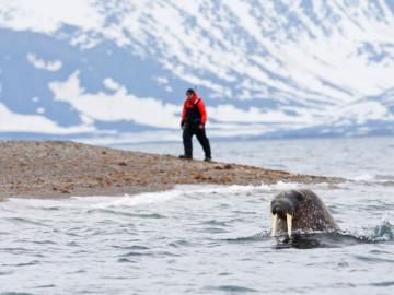 Kanada Expeditionsreise: Walroß