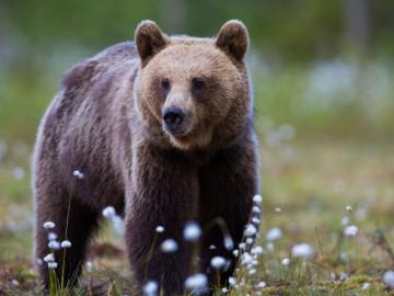Rundreise Yukon & Alaska - Bär