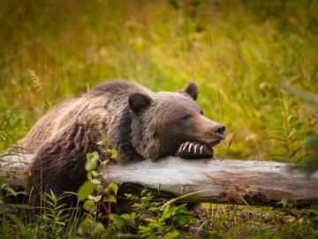 Reise Kanada: Grizzly Bär