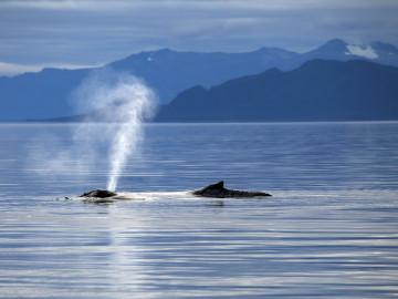 Kanada Reise: Buckelwale in Inside Passage