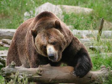 Kanada Reise - Grizzly Bären British Columbia