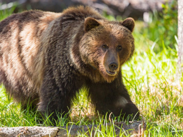 Reise Kanada - Grizzly im Banff Nationalpark
