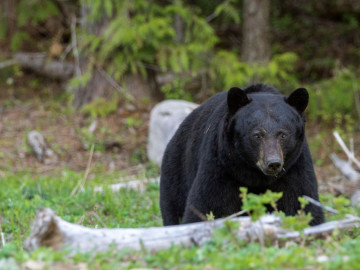 Reise Kanada: Schwarzbär