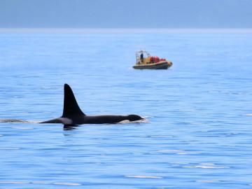 Kanada Reise: Walbeobachtung von Orcas in Victoria