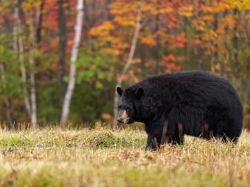 Kanada Reise: Braunbär