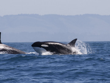 Kanada Reise: Vancouver Island Walebeobachtung