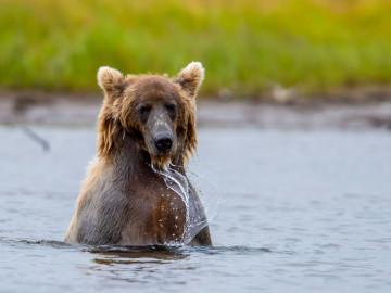 Yukon Reise: Grizzly Bär