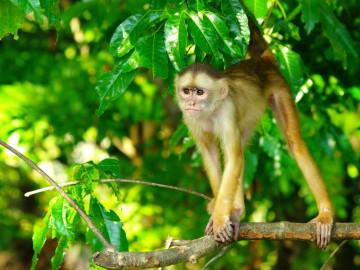 Brasilien Reise Manaus Affe