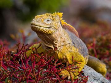 Galapagos Inseln - Leguan