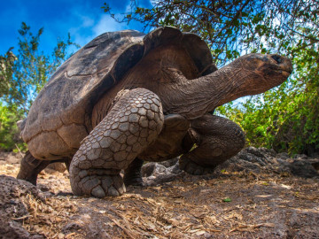 Reise - Galapagos Inseln - Schildkröte