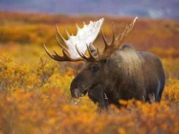 Kanada und Alaska Reise: Elch