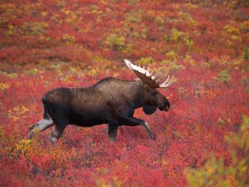USA Alaska Denali Nationalpark