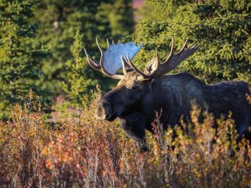 Alaska Reise Natur Elch