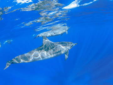 Reise Hawaii Delfin