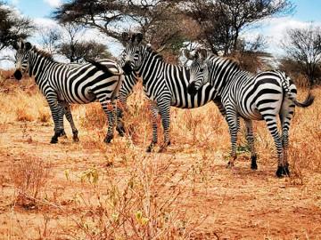 Zebras auf Safari Manyara and Tarangire, Tansania; CC: afromaxx