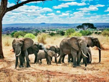 Elefanten auf Safari, Tansania; CC: afromaxx