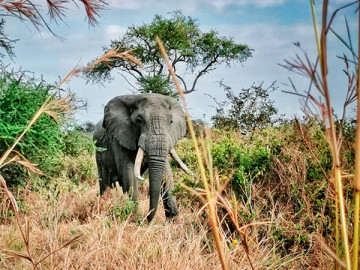 Elefant Safari Manyara and Tarangire, Tansania; CC: afromaxx